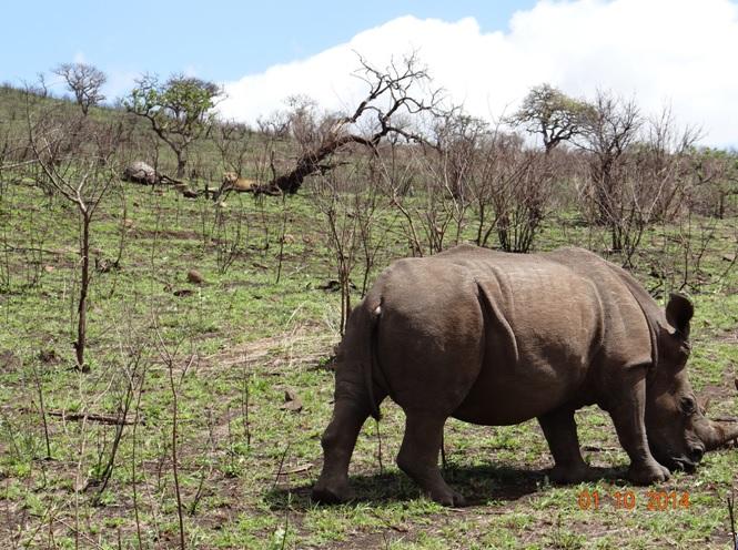 Rhino walks past Lions on a Kill on our Safari near Durban
