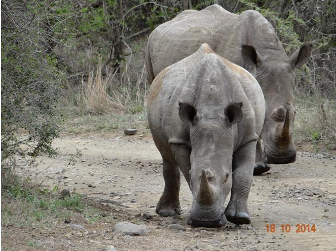 Rhinos walking down the road on our Durban Day Safari Tour