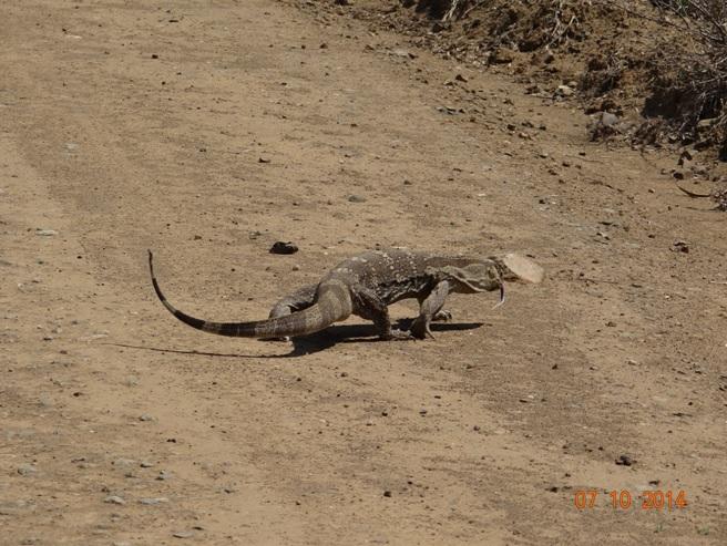 Rock Monitor Lizard runs down the road during our Durban Safari Tour
