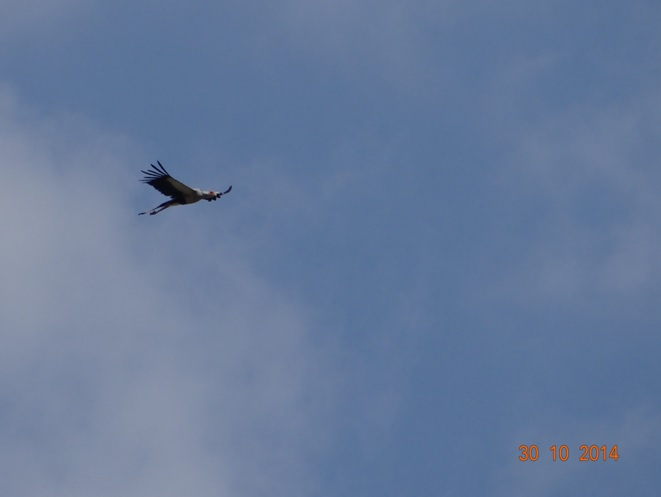 Secretary Bird in Flight during our Durban Safari Tour