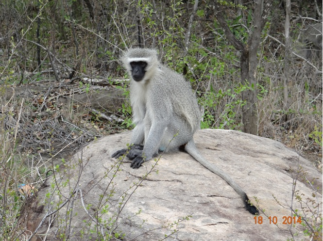 Vervet Monkey sitting on a rock during our Safari from Durban