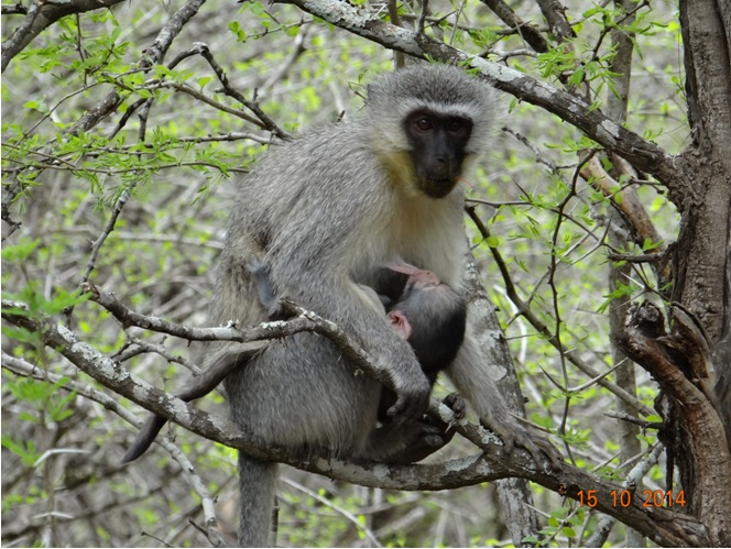 Vervet Monkey with small baby seen on our Durban Day Safari