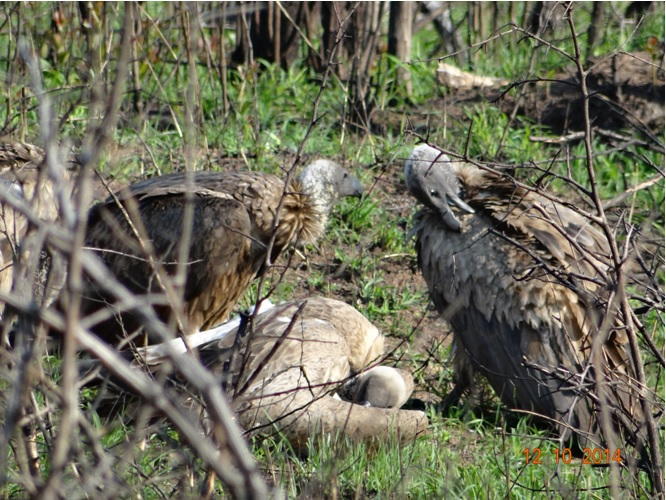Vultures pruning after finishing a carcass during our Durban day Safari Tour