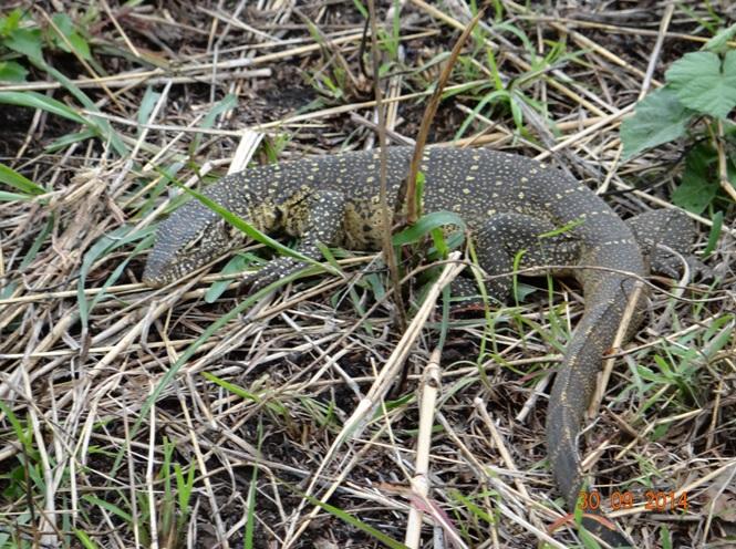 Water Monitor Lizard seen during our Durban safari tour