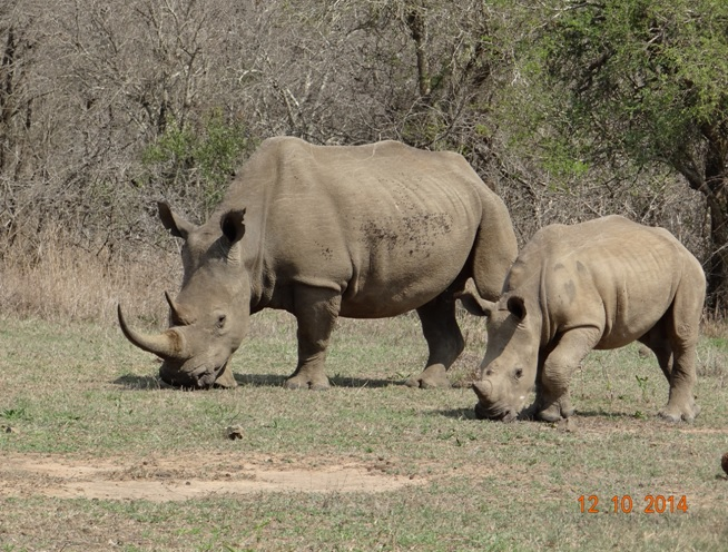 White Rhino mother and calf seen on our Durban Day Safari