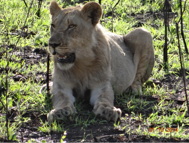 Young Male Lion rests after over eating during our Big 5 Durban Safari Tour