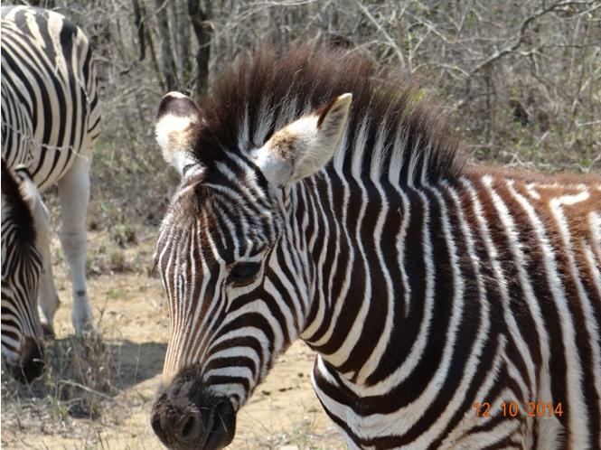 Zebra foul next to the road on our Durban Day Tour