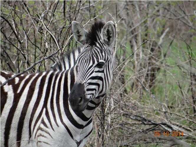 Zebra on our Durban day tour