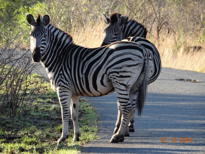 Zebra posing for a photo on Day 2 of our 3 day Safari Tour from Durban