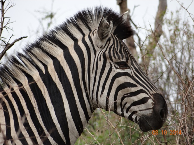 Zebra seen on our Safari from Durban