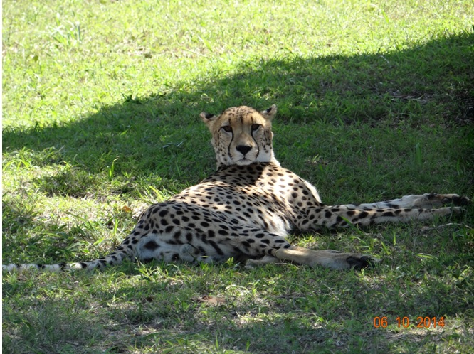 cheetah seen at Emdoneni Cat rehabilitation center on safari near Durban