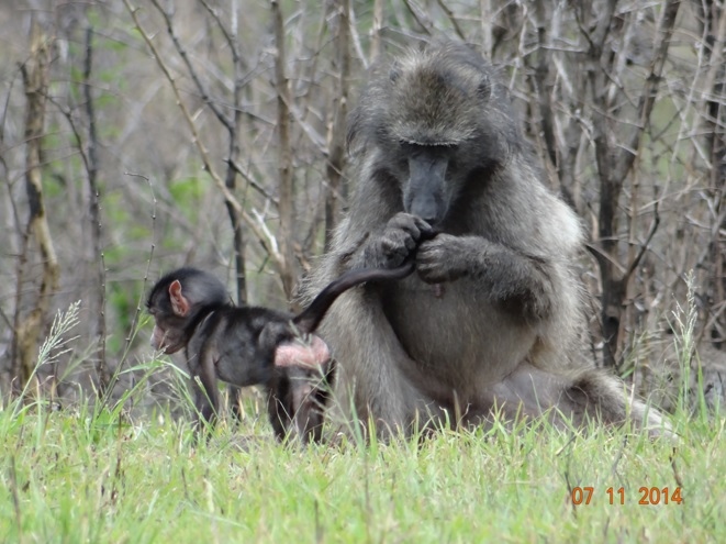 Baboon mother grooming her baby on our Hluhluwe Imfolozi Safari Tour with Tim Brown Tours