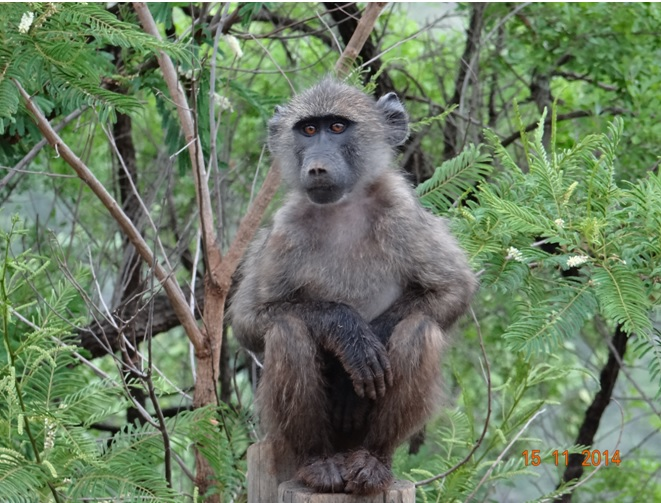 Baboon posing after the rain on our 5 Day Safari from Durban