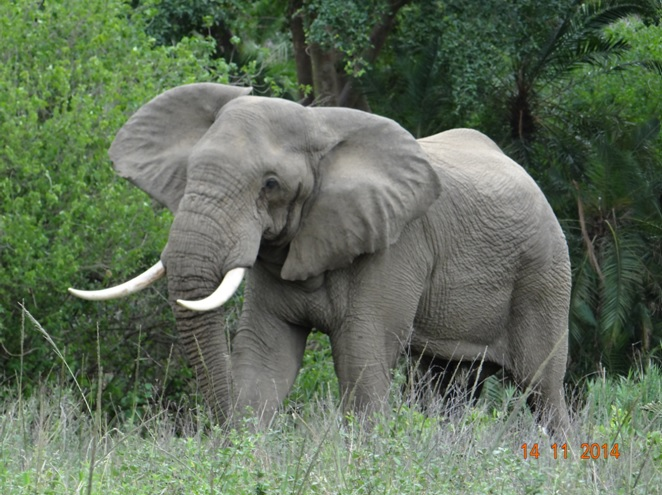 Bull Elephant in Musth walk past Lions towards the road on our Durban Safari Tour