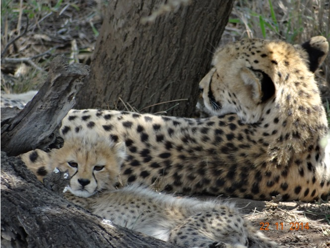 Cheetah and 3 young cubs seen on our Durban Big 5 Safari Tour