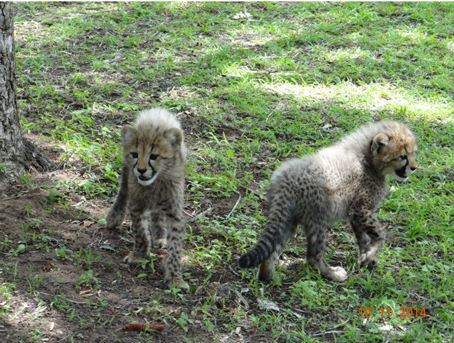 Cheetah cubs at emdoneni cat rehab center during our Durban Safari tour