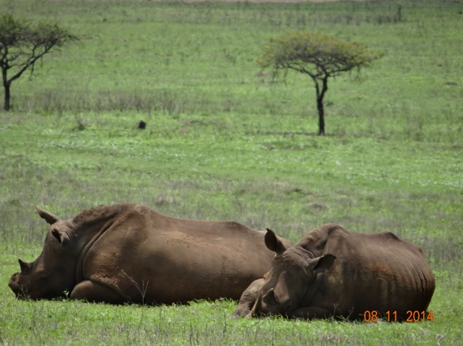 Dehorned Rhino and calf at Tala game reserve during our Durban Day Safari