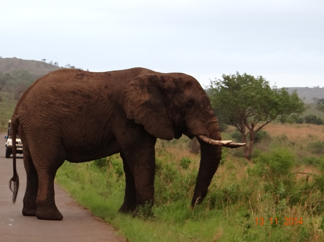 Elephant bull in Musth taking up the road on day 2 of your Durban Safari Tour