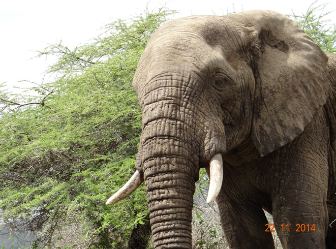 Elephant bull seen on our Big 5 Durban Safari Tour