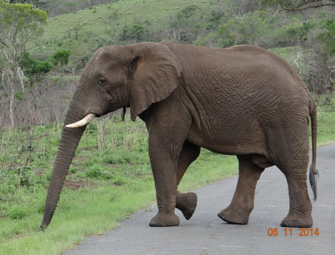 Elephant bull seen on our Durban Safari to Hluhluwe Imfolozi game reserve
