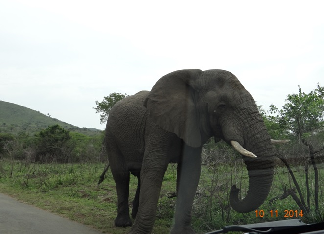 Elephant that touched our vehicle on our Durban Safari Tour for Holland America cruises