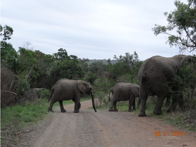 Elephants crossing the road on our Durban Safari tour