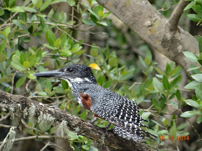 Giant Kingfisher see at St Lucia Estuary on the boat cruise During our Durban Safari Tour