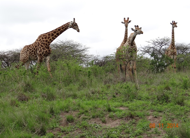 Giraffe at Tala game reserve on our Day Safari Tour with Tim Brown Tours