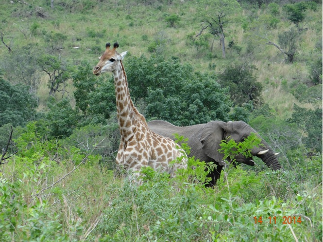 Giraffe with an Elephant behind it on our Durban 5 Day Safari Tour
