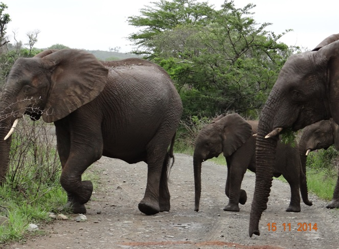 Herd of Elephant in Hluhluwe game reserve during our 5 day Durban Safari Tour