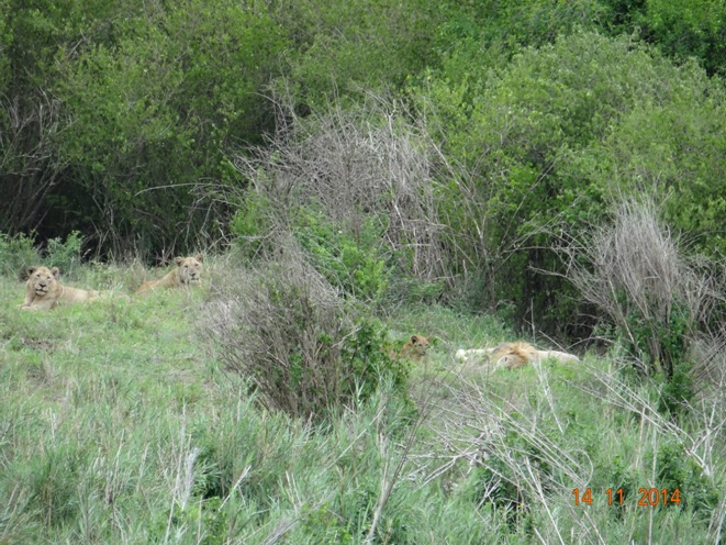 Lions with young cub seen on our Safari from Durban