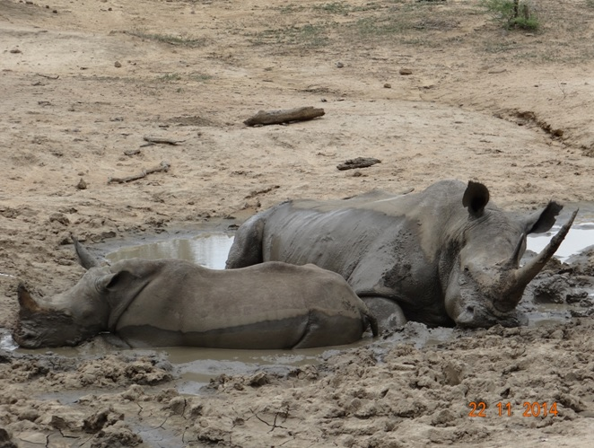 Mom and Baby Rhino in the mud during our Safari Tour from Durban