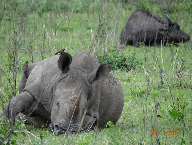 Rhino and Buffalo resting during our Durban Safari Tour