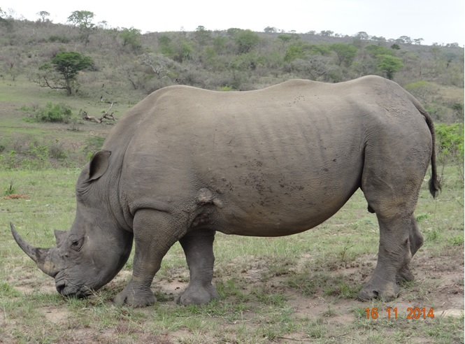 Rhino seen on Day 5 of our Safari Tour from Durban