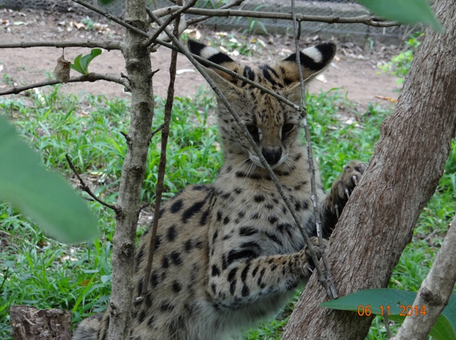 Serval at Emdoneni on our Durban Safari 2 day package tour