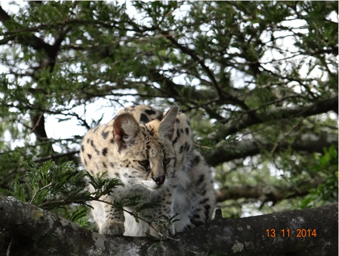 Serval waiting in a tree for her food at the Cat rehab center during our Durban Safari Tour
