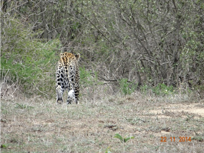 The first picture of the first Leopard we found on our Durban Safari Tour