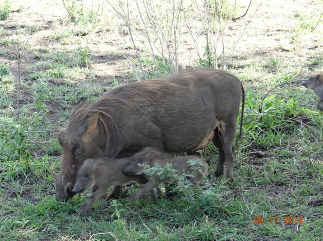 Warthog and piglets in Hluhluwe Imfolozi game reserve on our Durban Safari