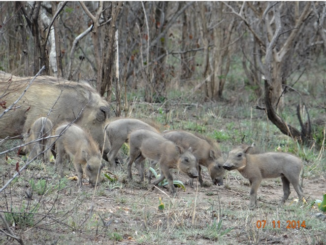 Warthog with Piglets on our Durban 2 Day Safari Tour in Hluhluwe Imfolozi game reserve