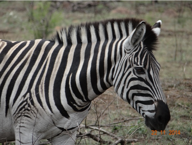 Zebra on our Durban Day Big 5 Safari Tour