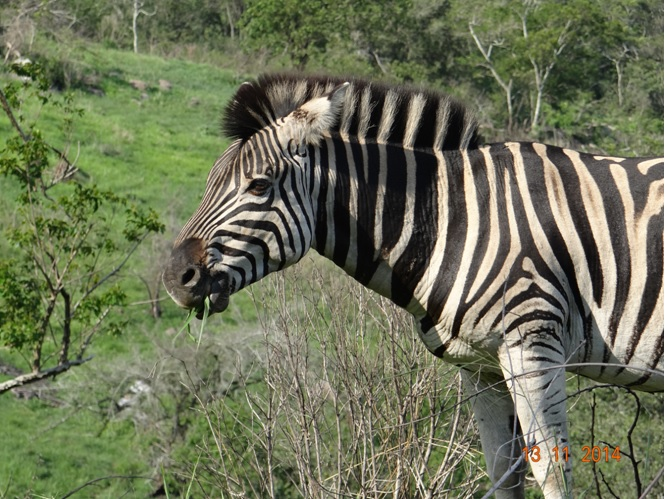 Zebra seen on our 5 Day Safari Tour from Durban
