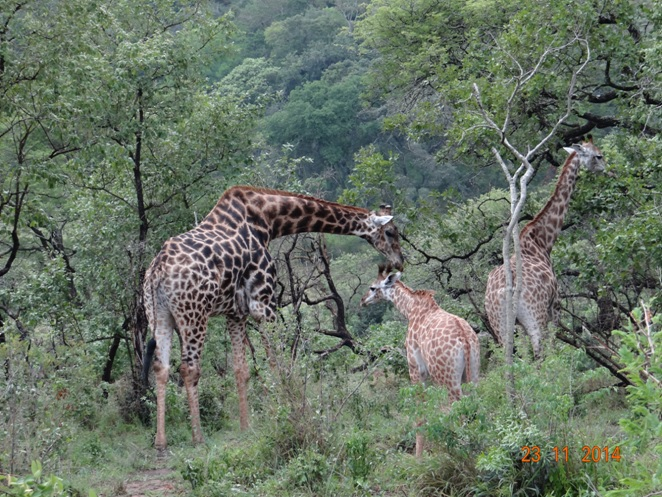 A journey of 3 Giraffe on our Hluhluwe Imfolozi safari Tour