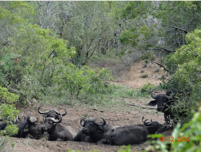 African Buffalo seen in Hluhluwe Imfolozi game reserve