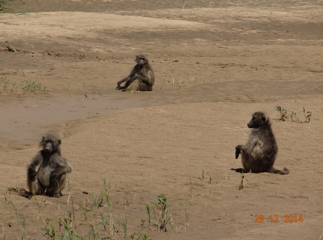 Baboons pose in the Umfolozi river on our Durban safari tour