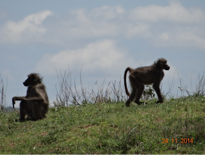 Baboons see on our Durban Safari Tour