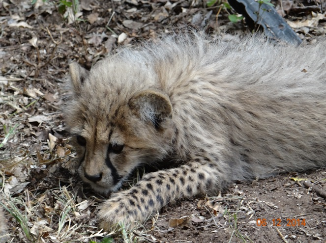Baby Cheetah at Emdoneni cat rehabilitation center during our 3 Day Durban Safari Tour
