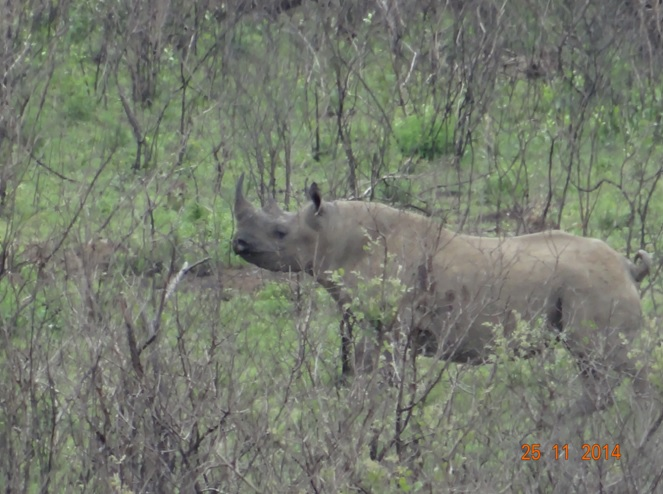 Black Rhino seen in Hluhluwe Imfolozi game reserve during our Safari Tour