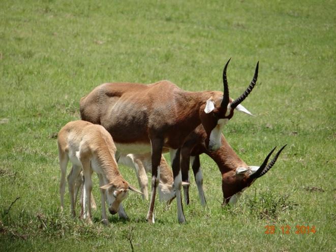 Blessbok seen on our Durban day safari tour