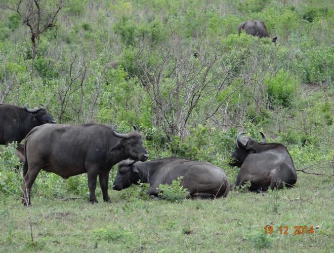Buffalo seen on our Durban safari tour to Hluhluwe Imfolozi game reserve