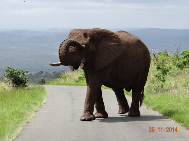 Bull Elephant just outside our lodge when we left for St Luica